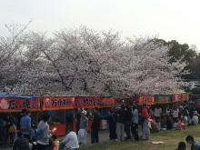 blog_import_520b48a9e6d0c 桜